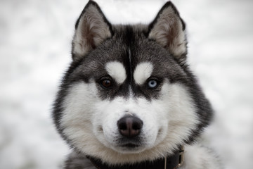 Siberian husky championship VI