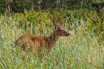 Wild mool deer feeding in high grass America