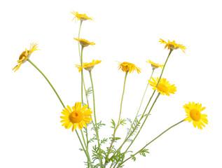 Cota tinctoria, the golden marguerite, yellow chamomile, or oxeye chamomile