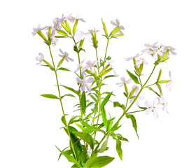 Poster de jardin Muguet de mai Saponaria, commonly known as soapwort. Isolated