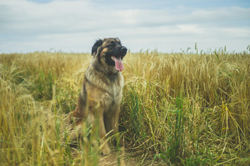 Giant Leonberger dog sitting in field