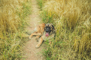 Leonberger dog resting in a field