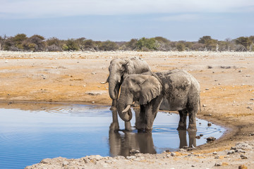 Two African elephants drinking at Chudop waterhole in Etosha national park. Namibia, Africa.