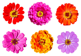 Zinnia flowers isolated on white background with clipping path included.