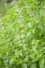 Ocimum basilicum plant in nature garden