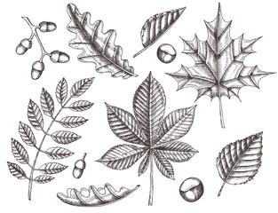 Set of autumn leaves. Hand drawn maple, birch, chestnut, acorn, ash tree, oak. Sketch. Vintage
