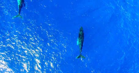 Humpback Whales Swimming in Bright Blue Water