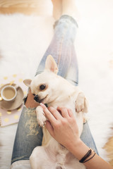 A young woman wearing distressed jeans sitting on wood floor on a white fur carpet at home and caressing a cute Chihuahua dog. Gold bright feminine theme