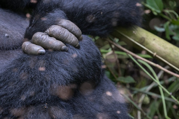 Hand and fingers of Eastern Lowland Gorilla