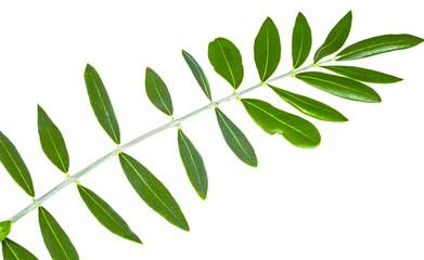 Oil, olive twig, leave