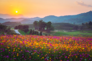 Wall Mural - Landscape of cosmos flower field in the sunset at singpark in chiangrai, Thailand