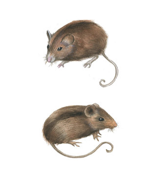 Hand-drawn watercolor drawing of the couple mouses. Illustration of the rodents isolated on the white background