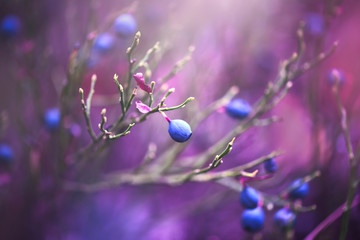 Blueberry nature background. Juicy and fresh wildberries growing in a forest