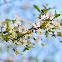 Background from branches of apple trees