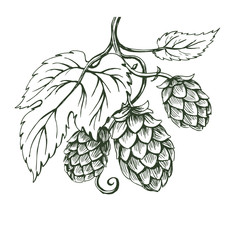Outline vector sketch of hops branch