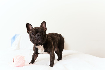 Cute french bulldog pet on white bed