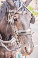 Carriage horse in harness close-up portrait