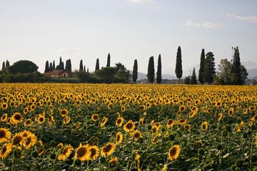 Sunflower field at dusk