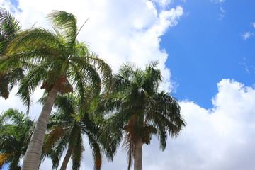 青空と椰子の木 ハワイ オアフ島