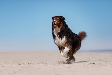 Australian shepherd running on the beach