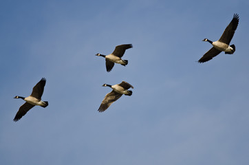 Four Canada Geese Flying in a Blue Sky