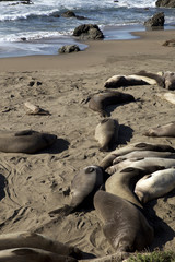 Sea Elephants at California Coast (Highway One, USA)