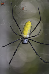 """Large spider in the rainforest, Wayag, the male is the smaller and the female the larger, Raja Ampat, Western Papua, Indonesian controlled New Guinea, on then Science et Images """"Expedition Papua, in the footsteps of Wallace"""", by Iris Foundation"""