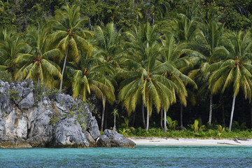 "Coconut palm tree, (Cocos nucifera),Triton Bay, Mainland New Guinea, Western Papua, Indonesian controlled New Guinea, on the Science et Images ""Expedition Papua, in the footsteps of Wallace"", by Iris Foundation"