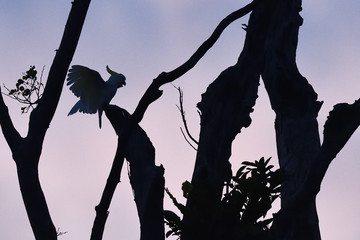 """Sulphur-crested cockatoo (Cacatua galerita), Kumawa Peninsula, mainland New Guinea, Western Papua, Indonesian controlled New Guinea, on the Science et Images """"Expedition Papua, in the footsteps of Wallace"""", by Iris Foundation"""