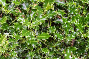 Holly bush background