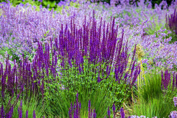 Salvia flower (disambiguation) the largest genus of plants in the mint family, Lamiaceae, with nearly 1000 species of shrubs, herbaceous perennials, and annuals.[ Wall mural