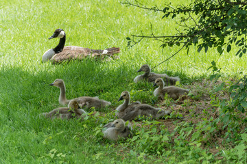 Canadian or Canada Geese WIth Goslings On Land in Spring