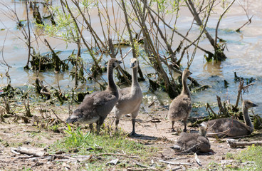 Candian or Canada Geese Goslings on shore near the water