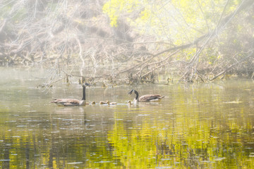 Candian or Canada Geese WIth Goslings Swimming on a Foggy, Quiet Pond.