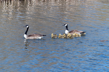Candian or Canada Geese WIth Goslings Swimming on a Quiet Pond.