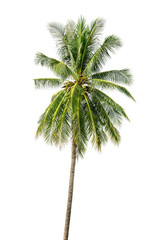 one coconut palm tree isolated on white background.