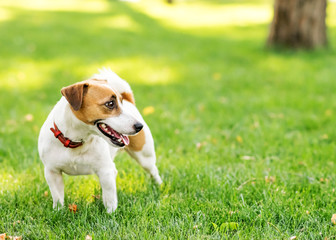 A cute happy dog Jack Russell Terrier standing on green lawn outdoor at summer day. Copy-space left