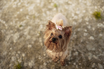 Yorkshire Terrier with a pink bow on his head runs on the beach on the sand in the summer. Terrier and the owner on a walk by the sea.