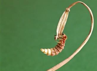 lucciola femmina, Lampyris noctiluca