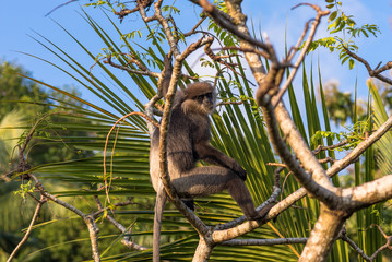 Gray- or Hanuman langurs are the most widespread langurs of South Asia. This group is situated in the back of the village in Unawatuna in Sri Lanka. They take foliage very close to the settlements