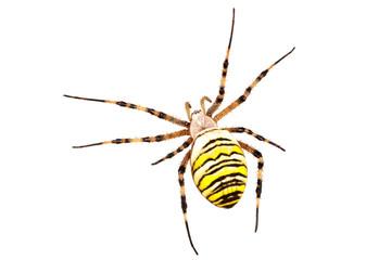 Wasp spider (Argiope bruennichi) on a white background