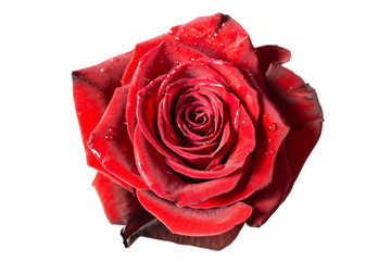 Fresh red rose, isolated on white
