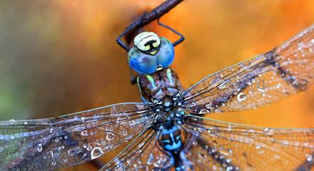 Dragonfly macro  shot