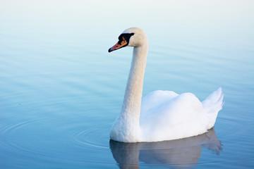 Foto op Plexiglas Zwaan White swan on a blue water swimming