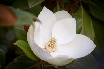 white magnolia flower in bloom between green leaves