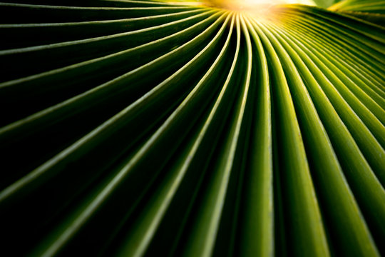 Sunlight on green leaves, Natural background texture, Pritchardia pacifica, Fiji fan palm