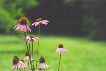 pink osteospermum flower daisy