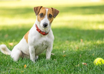 A buautiful purebred dog Jack Russell Terrier sitting after having fun with a small Tennis ball on green lawn outdoor at summer day. Copy-space left
