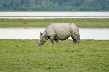 Rhino at Kaziranga National Park