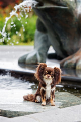 beautiful brown chihuahua dog posing outdoors